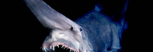 01-Goblin-Shark[1]