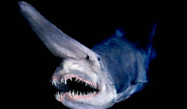 1. Goblin Shark: