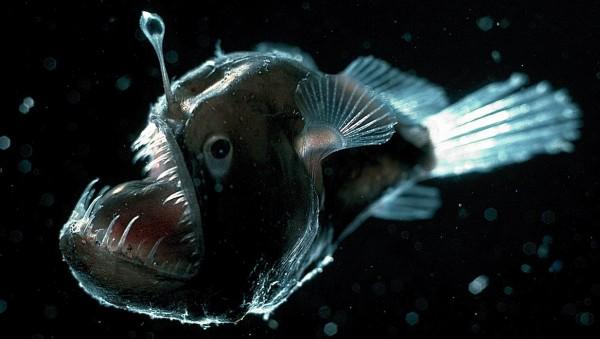 4. Anglerfish: