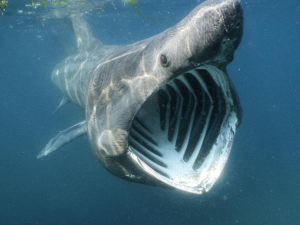 7. Basking Shark: