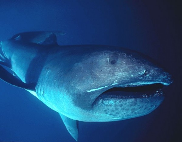 9. Megamouth Shark:
