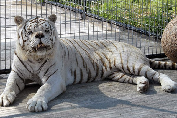 Kenny, the white tiger