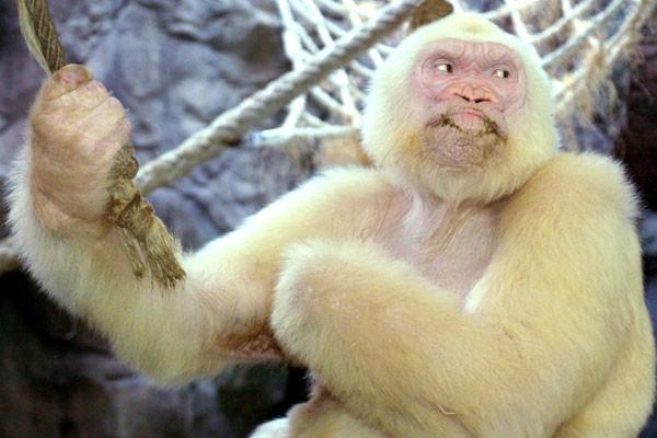 A white gorilla