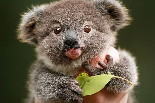 Image of: Oliver Hellowell This Beautiful Koala Mundo 14 Beautiful Pictures Of Animals With Down Syndrome Mundo En
