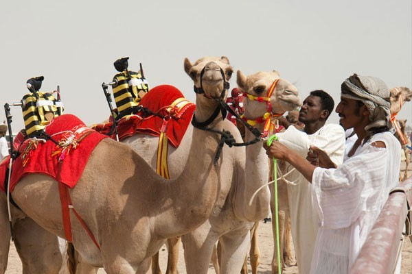 Camel races with robot jockeys