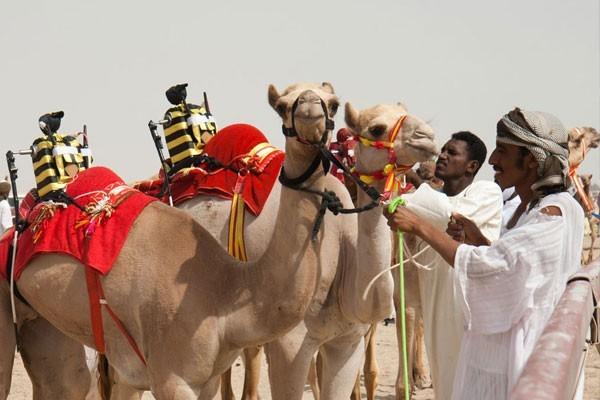 Camel races with robot jockeys
