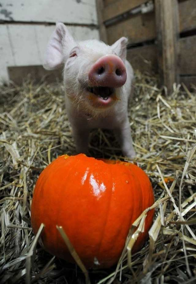 1. Piglet enjoying his pumpkin