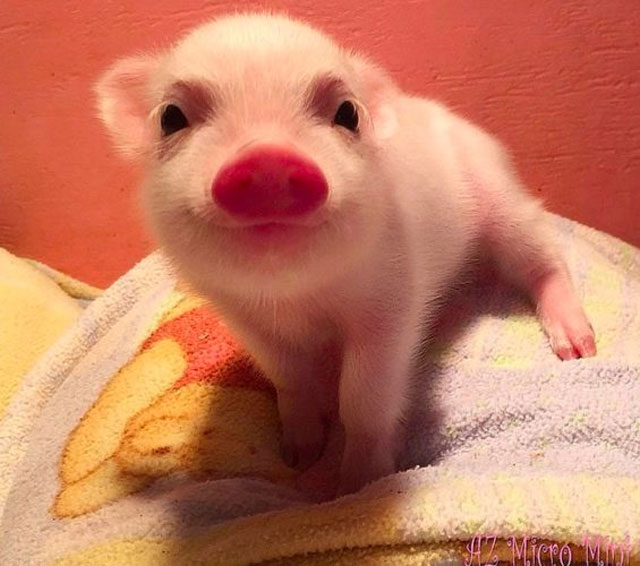 24. The cutest piglet ever