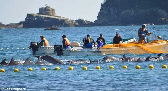 5. Some captive dolphins are taken from the wild