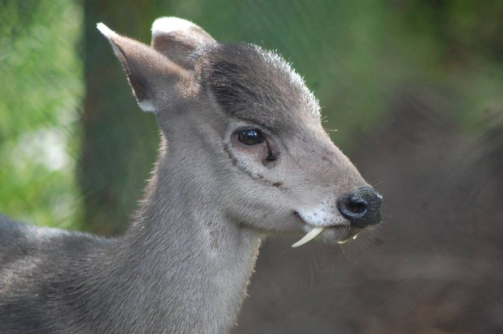 9. Tufted Deer