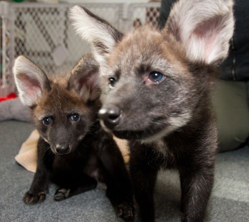 6. Maned Wolf
