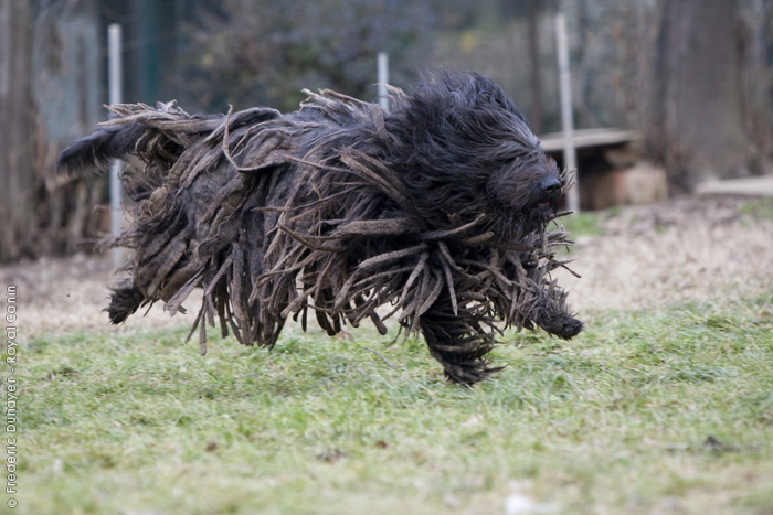 4. Bergamasco Shepherd