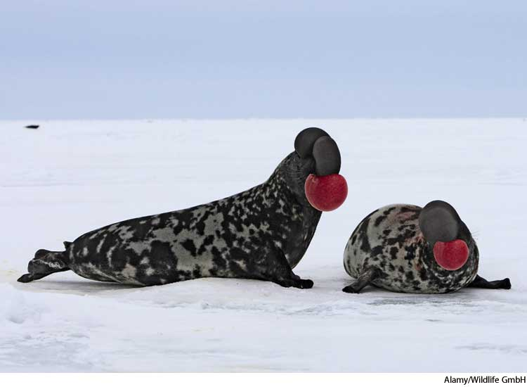 1. Hooded Seals