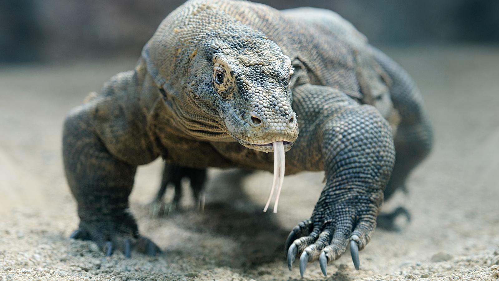 2. Komodo Dragons