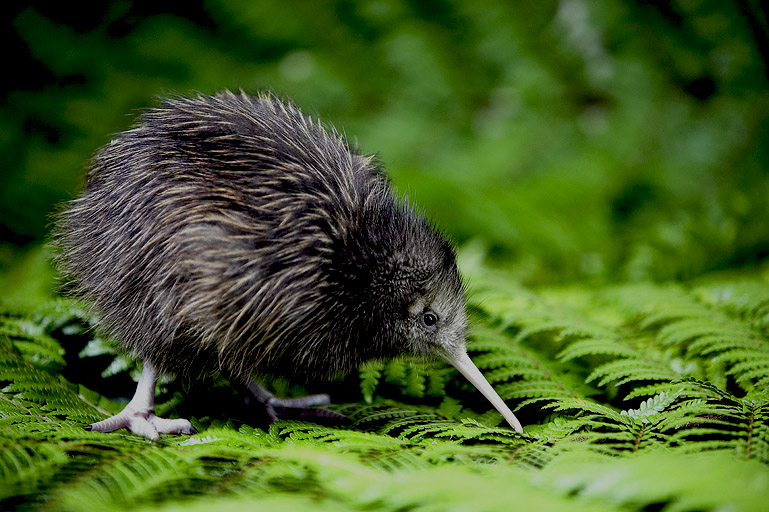 20. The Kiwi
