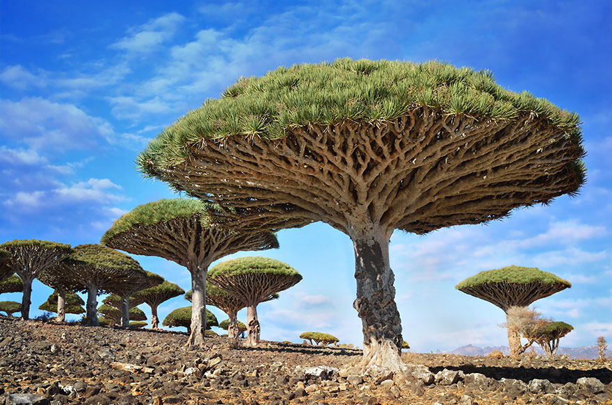 11. Dragonblood Trees, Socotra, Yemen