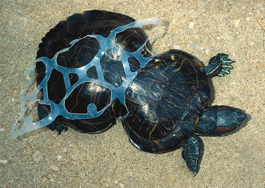 1. Tortoise Trapped By Plastic