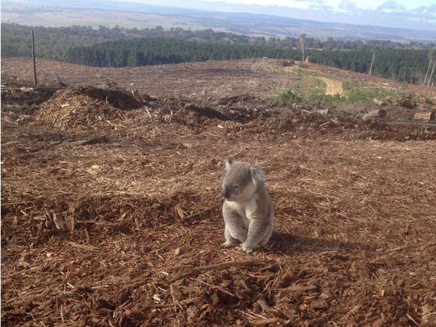 3. Koala without a home