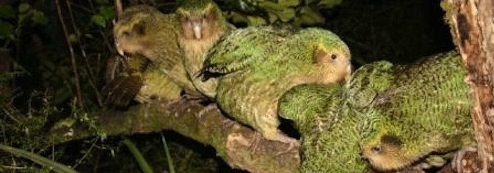 12. Kakapo