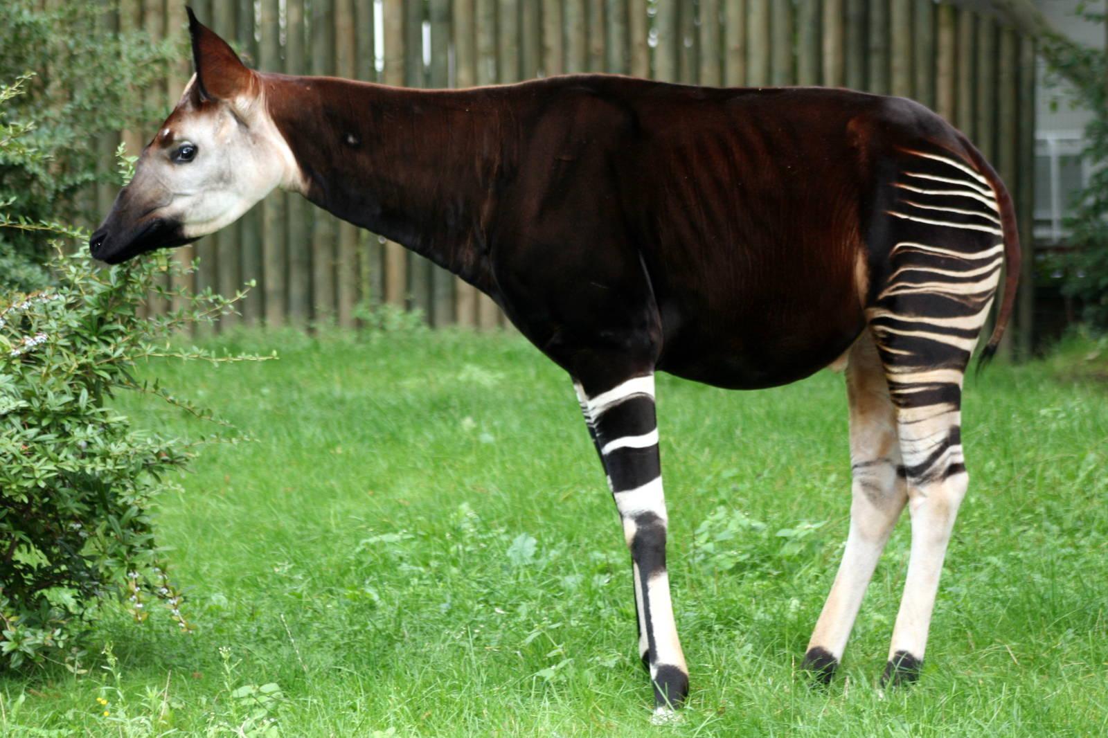 18. Okapi