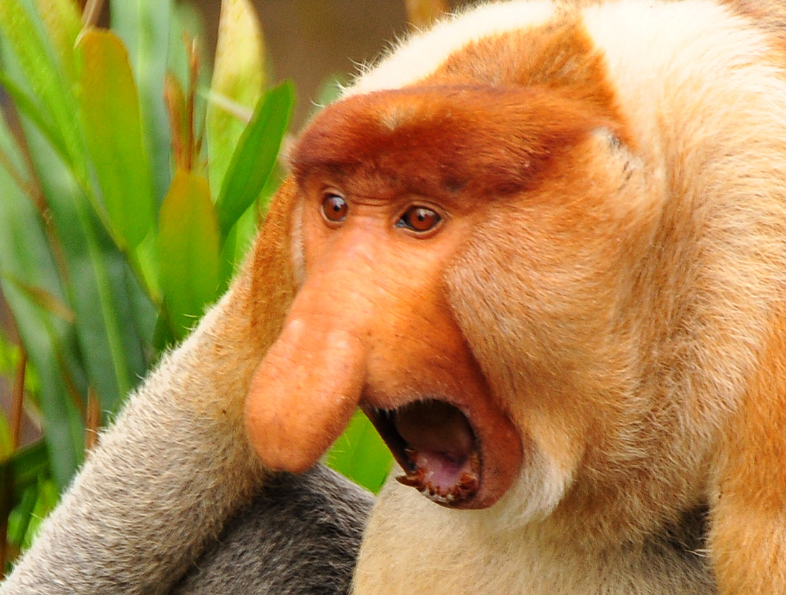 9. Proboscis Monkey