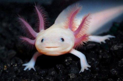 4. Axolotl