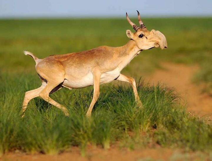 5. Saiga Antelope