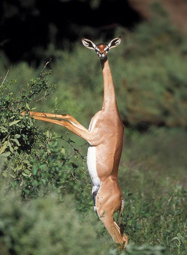 7. Gerenuk