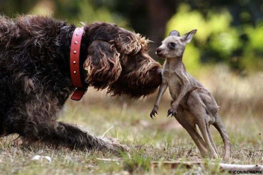A dog and kangaroo friend