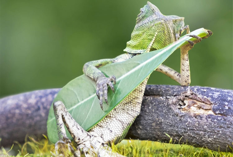 An iguana with a lot of style
