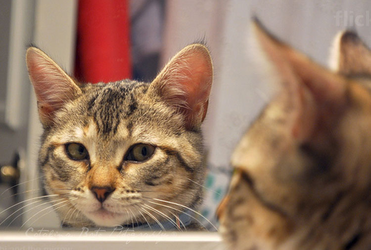 Cats can't recognize themselves in the mirror