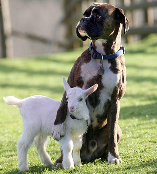 A baby goat and his protector