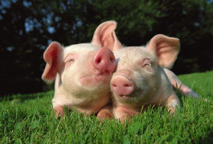 Pigs are similar to humans