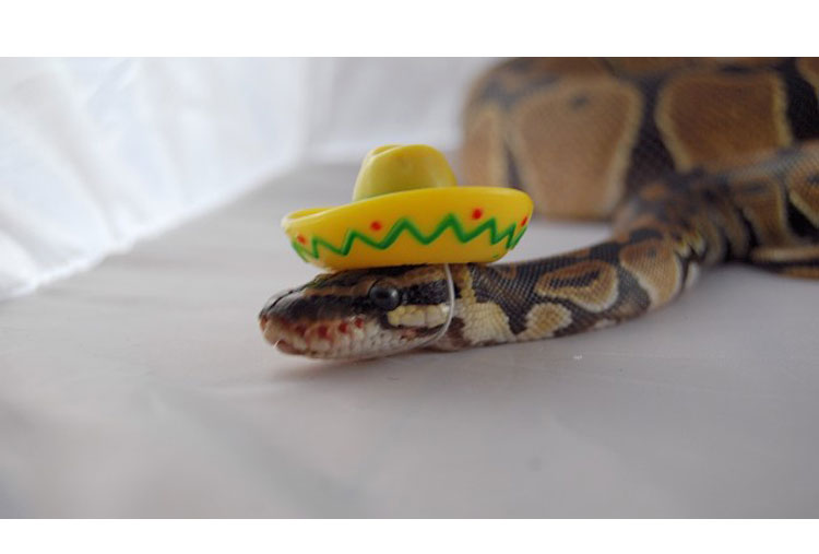 A Mexican snake