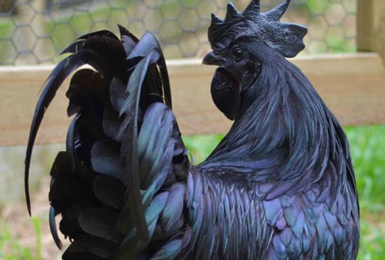 Ayam cemani Cock