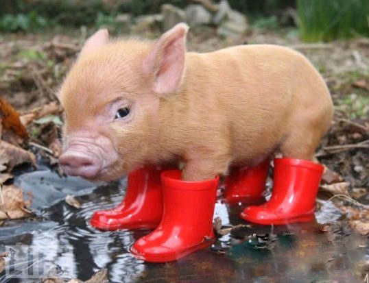 Pigs are the smartest domestic animal in the world