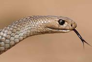 Oriental Brown snake