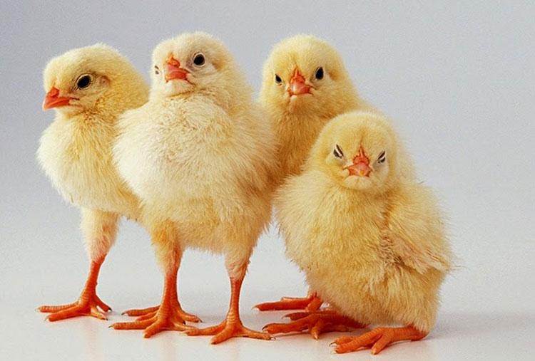 Determine a chick's gender
