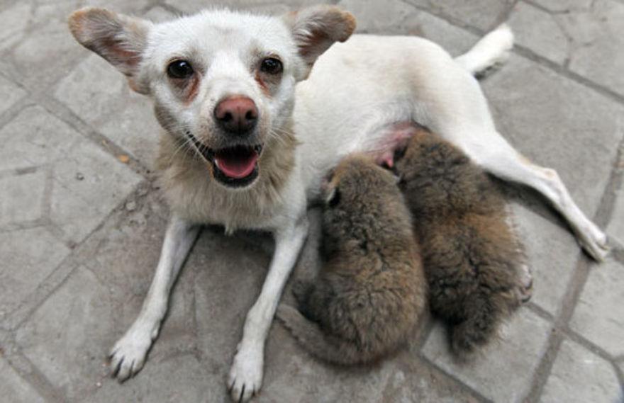 This Chihuahua and his baby pandas