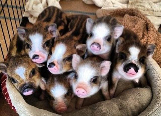 6 types of miniature pigs