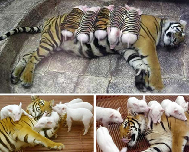 A tiger with piglets.