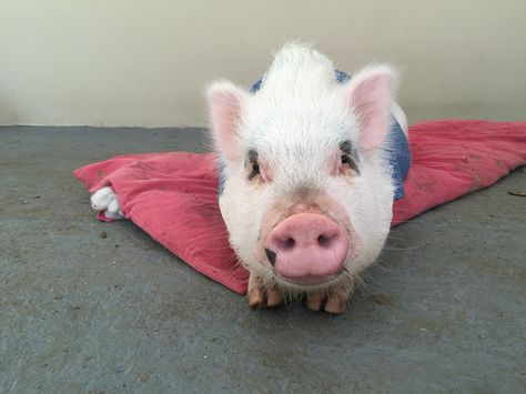 The Vietnamese pig is the most common one.