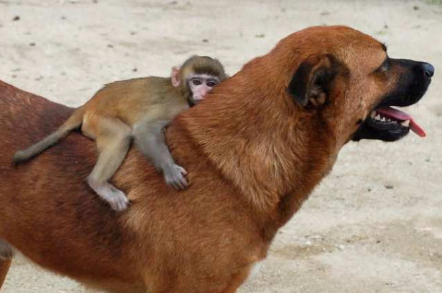 A very kind dog with a monkey