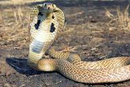 Philippine's Cobra