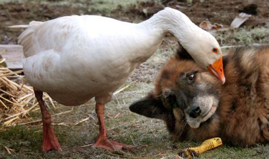 The goose saved this little bratty