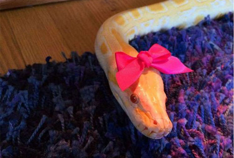 A python and her pink bow