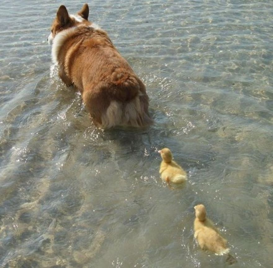 Mother dog and her ducklings