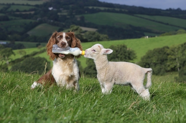 A dog feeding a sheep