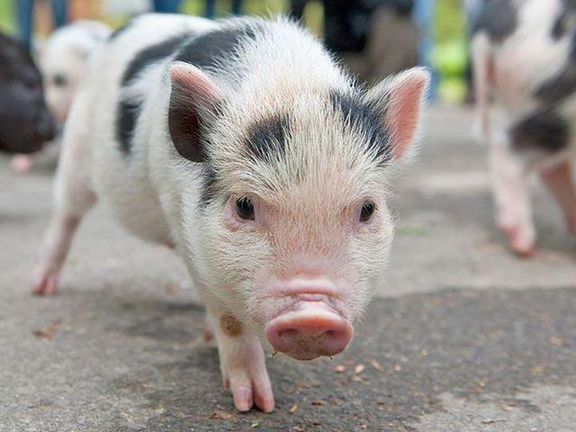In Denmark, there are more pigs than humans