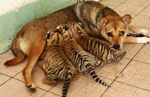 Tiger's mom